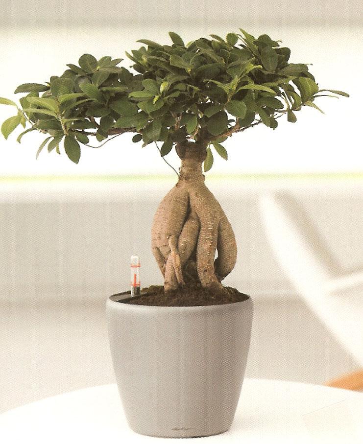 ficus-bonsai-ginseng