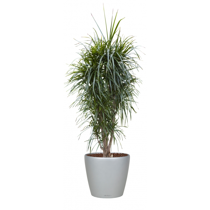 dracaena-marginata-lechuza-classico1