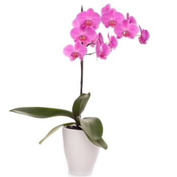 orhidee-phalaenopsis-1
