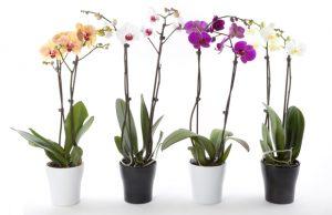 orhidee-phalenopsis-abonamente-cirporate