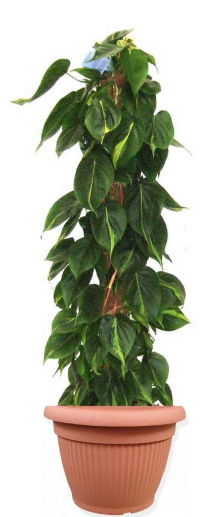 philodendron-scandens-brasil-ghiveci