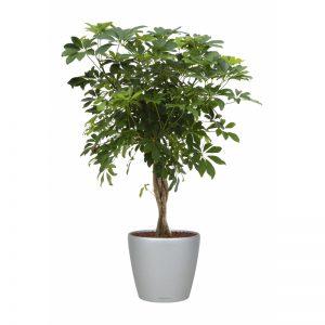 schefflera-arboricola-lechuza-classico-argintiu