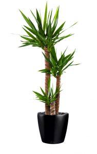 yucca-3t-lechuza-classico