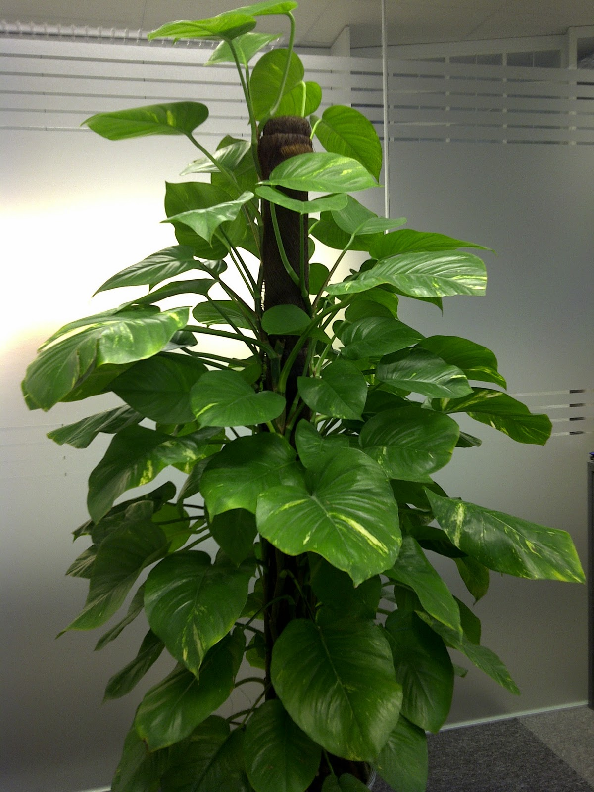 epipremnum-plante-decorative