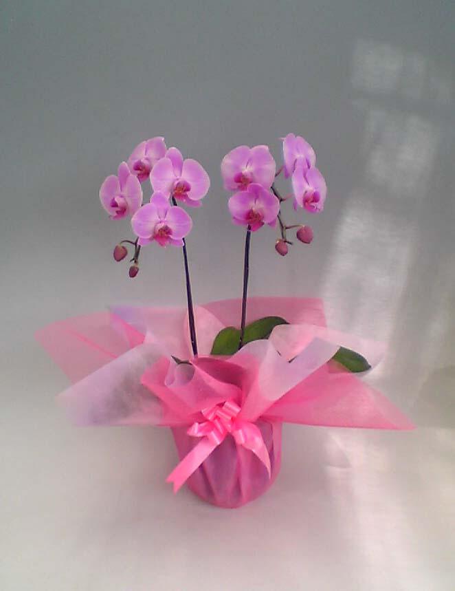 orhidee-phalenopsis-roz