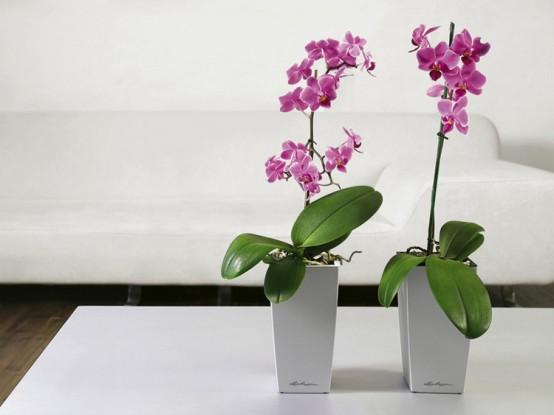 phalaenopsis-lechuza-deltini