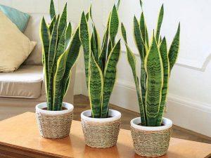 plante-de-interior-ghiveci